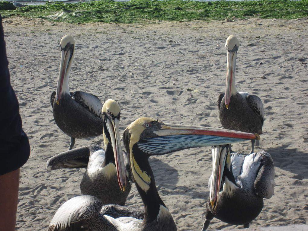 """les iles Ballestas, le guano, les fous de bassan, le cormoran a pattes rouge en voie d'extinction, les piqueros, les sarcelles, les différentes mouettes, et tant d'autres oiseaux,  les otaries, les lions de mer, les plages de  la réserve; les plats : ceviche , chaufa , sudado, picante.....de marisco y pescado....pelicans péruviens et la """"cathédrale"""""""