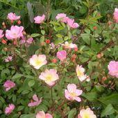 'Plaisanterie', un charmant rosier à la floraison changeante