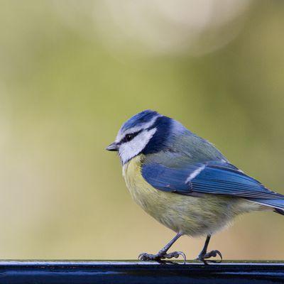 Plumes bleu azur