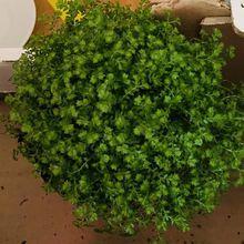 Une plante a l'apparence de la mousse, l'helxine