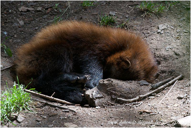 Le glouton n'a pas de véritable abri.  Il s'installe d'une façon rudimentaire à même le sol, sous une souche, dans le creux d'un arbre,.