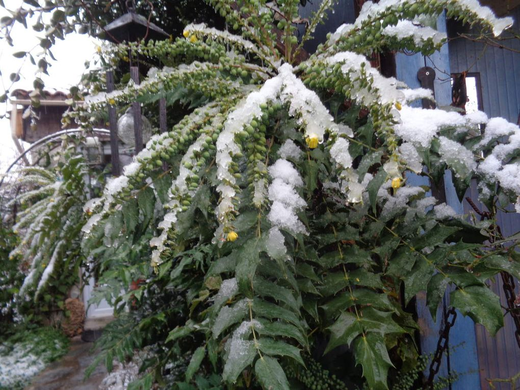 """Mon jardin en février avec des fleurs ,de la neige pendant un jour ou deux ,mes animaux :mes poulettes de soie et mon chat """"Déluge """""""