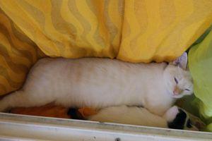 MONTY - mâle blanc aux yeux bleus - adopté à 5 mois