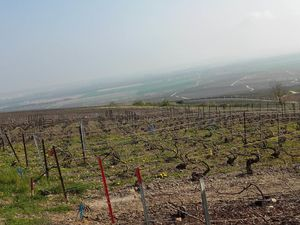 Vignobles Champenois au petit matin