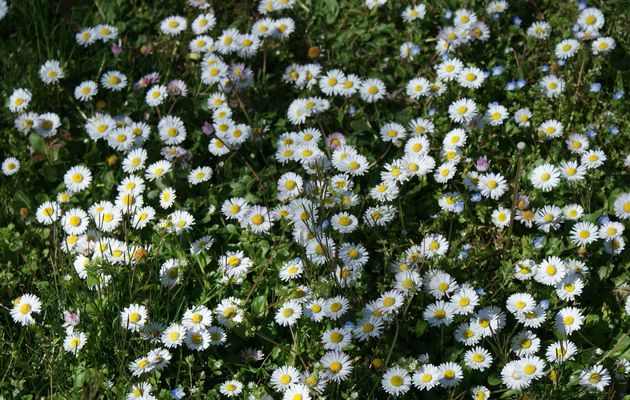 fleurs sauvages blanches