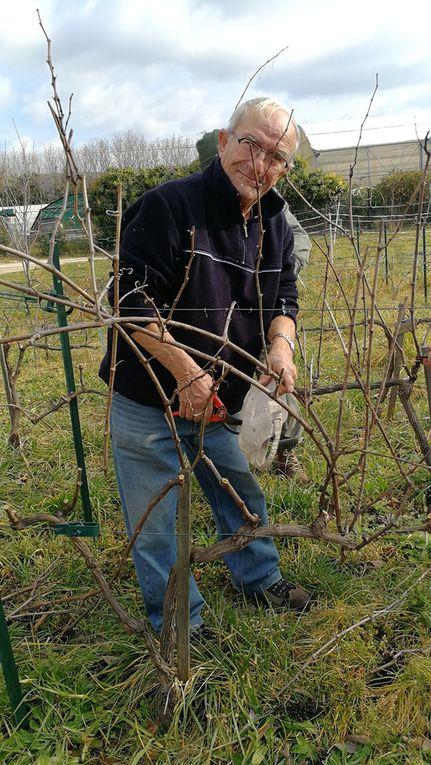 Taille de la vigne pédagogique à la Bastide MARIN