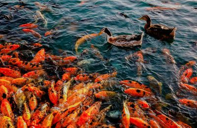 Koi Fish For Sale - What Type of Fish Are You Looking For?