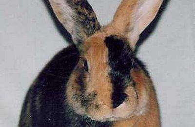Vend lapins Japonais