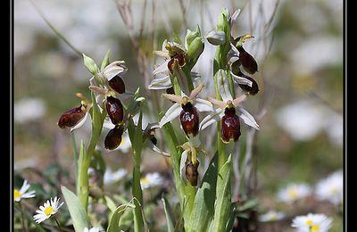 Orchidées de Provence