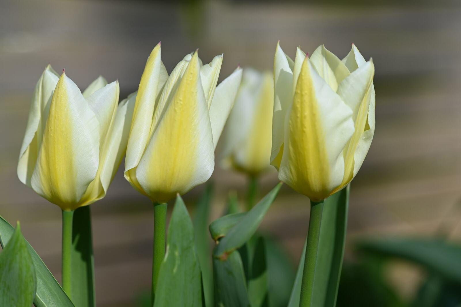 Tulipes ...