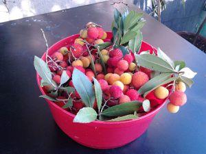 Il corbezzolo nel Risorgimento è stato simbolo del Tricolore italiano : verde delle foglie, bianco dei fiori, rosso dei frutti