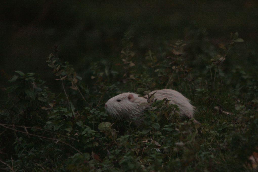 Album - Ragondin