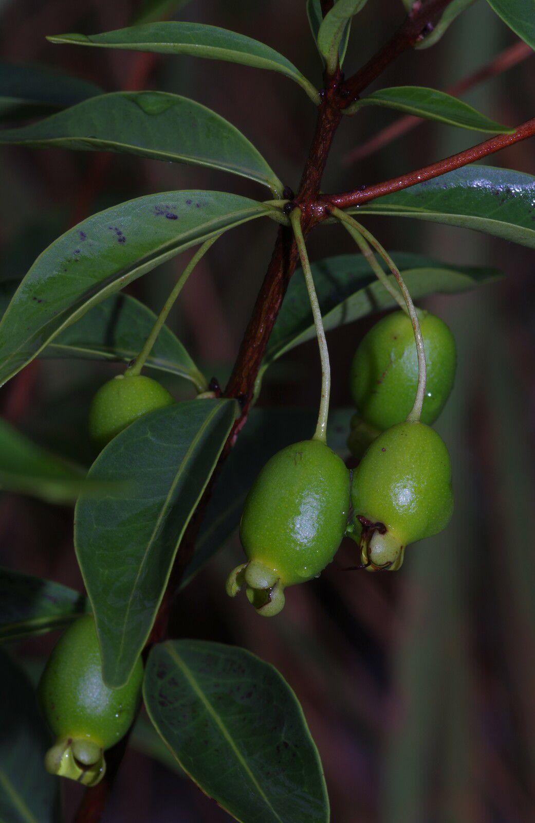 Eugenia punicifolia