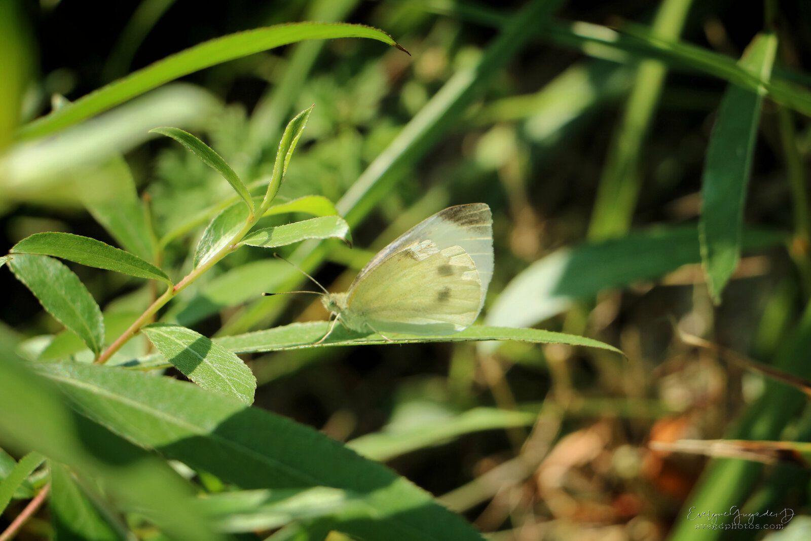Un papillon très commun..