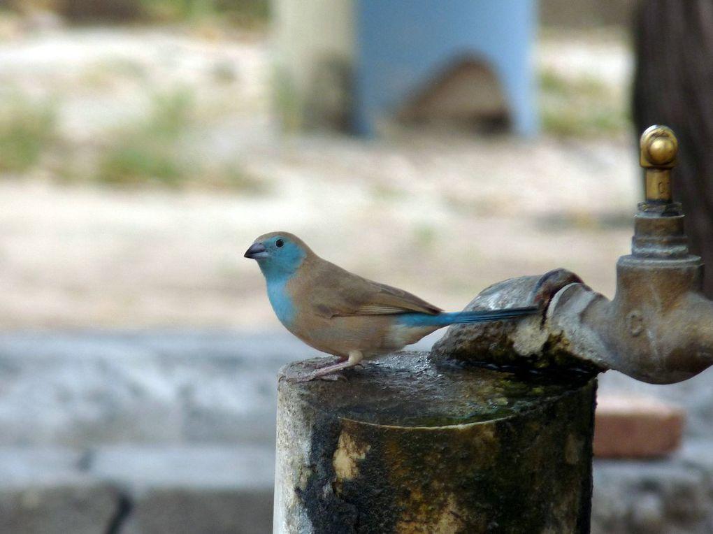 Cordon bleu d'Angola (Blue waxbill)