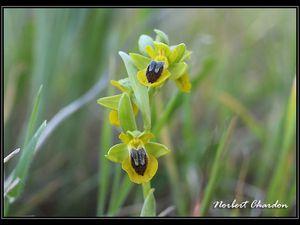 Ophrys Jaune vieux salins et Carqueiranne