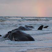 Les baleines meurent de faim - l'estomac plein de nos déchets...