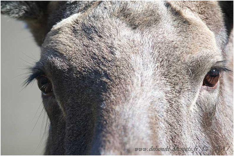 L'élan a une vue très faible, mais cette lacune est compensée par ses sens de l'odorat et de l'ouïe.