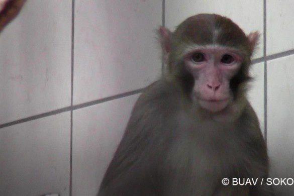 Germanio : silenta rondo en Tubingeno, por savi simiojn el trepanado