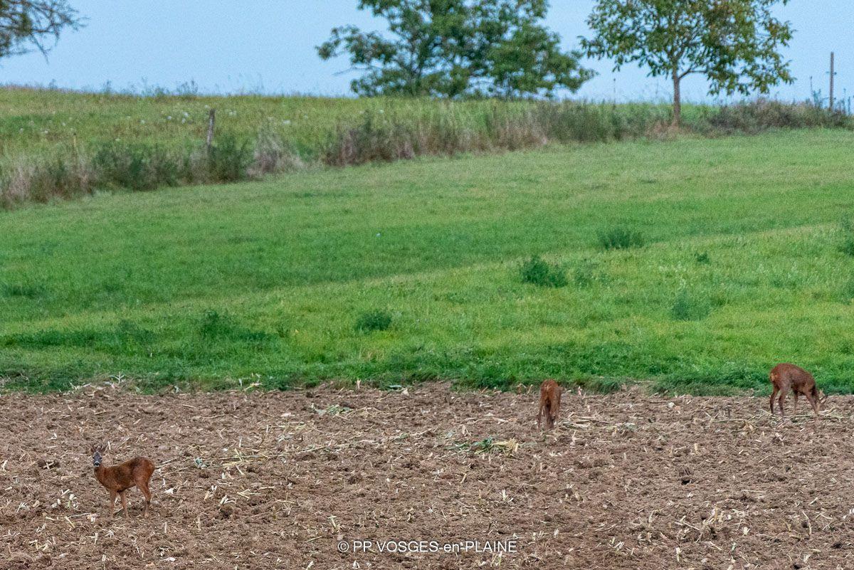 La faune lamadonienne à découvert dans les champs