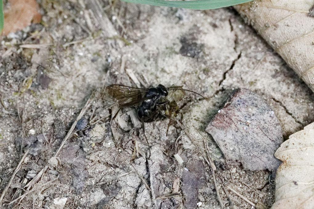 Isodontia mexicana, possible