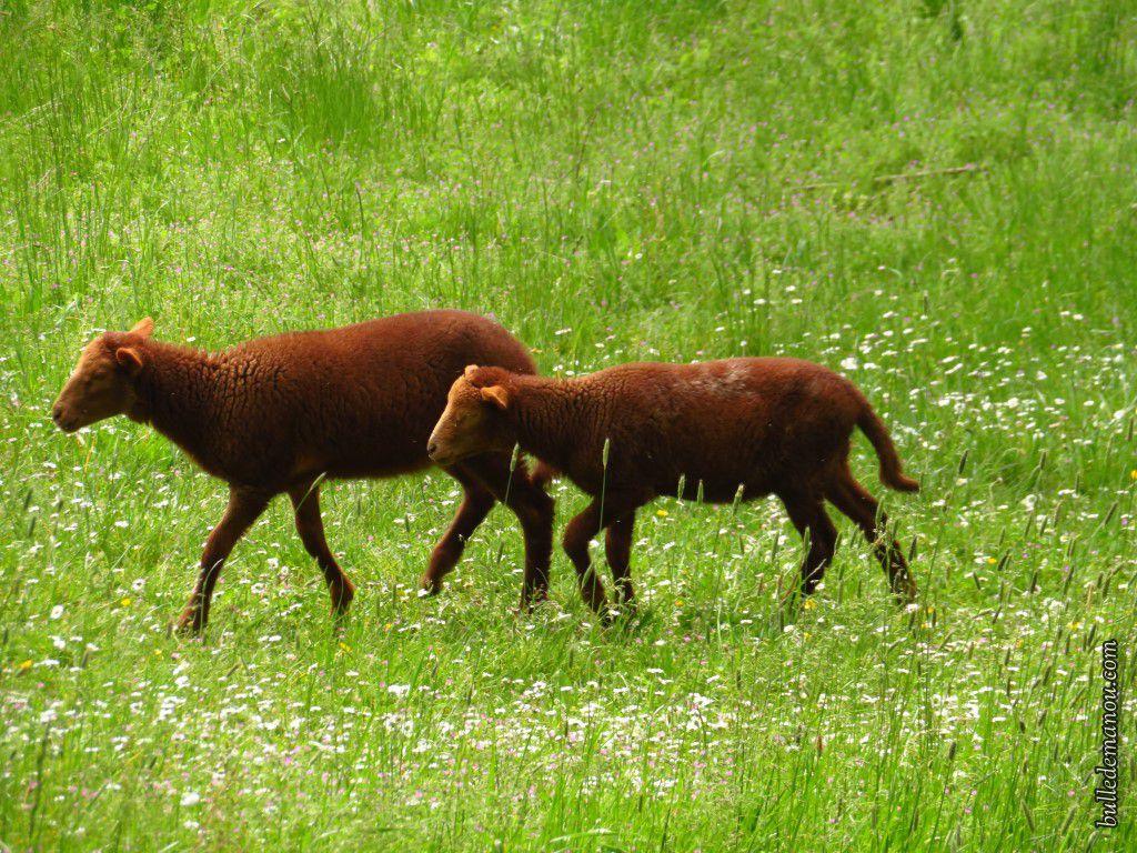 Les moutons (trois petits dont deux jumeaux !)