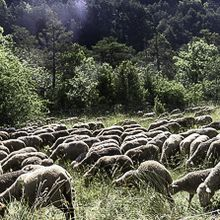 La transhumance du troupeau d'Alphonse Lopez  continue sa route