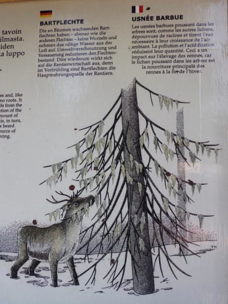 ces longs lichens...l'usnée barbue dont se nourrissent les rennes...