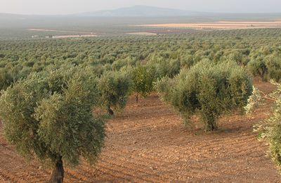 L'olive, fruit multimillénaire, fait sa star en Tunisie et remporte tous les suffrages !