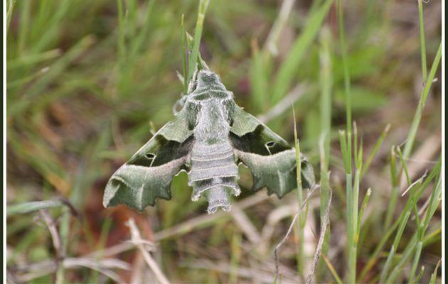 Papillon : Sphinx de l'épilobe