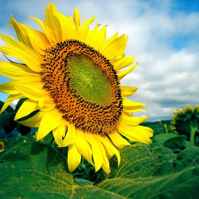 Le tournesol une fleur qui produit de l'énergie!!