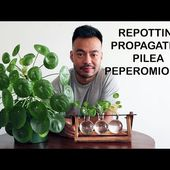 How To Repot & Propagate | Pilea Peperomioides