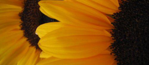 Fleur de soleil !
