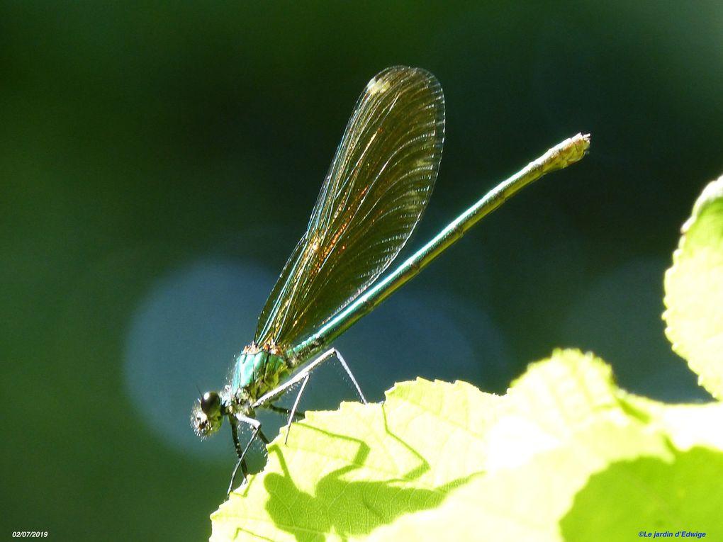 Au repos, les ailes sont  repliées l'une contre l'autre et dressées au-dessus du corps.
