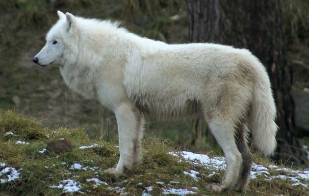 Prison pour avoir voulu tuer un loup en Norvège