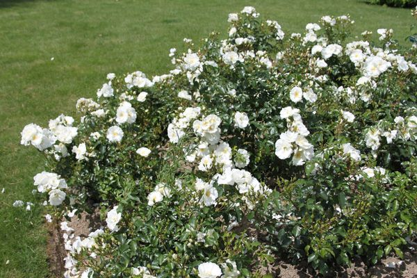 Le rosier Opalia