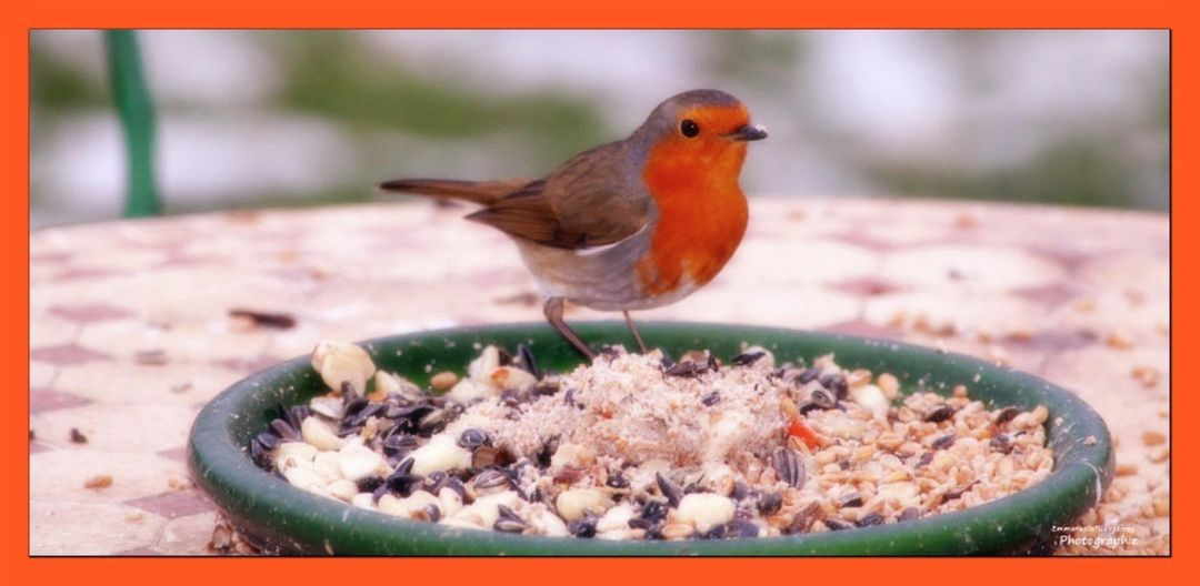 Comment adopter un Rouge-gorge ? De la nourriture spéciale rouge-gorge, proposée dans le commerce sous forme de mélange (petites graines, fruits séchés, insectes comme les vers de farine, crevettes...) Des graines dont l'oiseau raffole comme le tournesol ou le pavot.