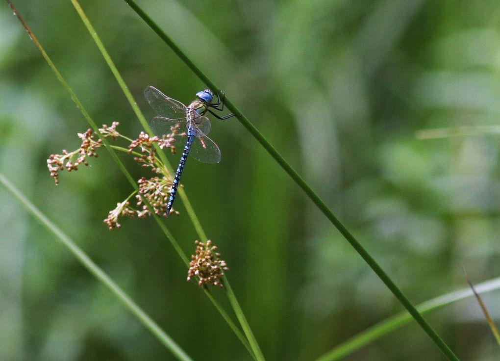 Inventaire des 32 espèces contactées à Mardié soit au bord de la Loire - ou sur la Loire - devant Latingy, soit au petit étang du Grand bois. Les mentions M et F distinguent les sexes de chaque espèce.