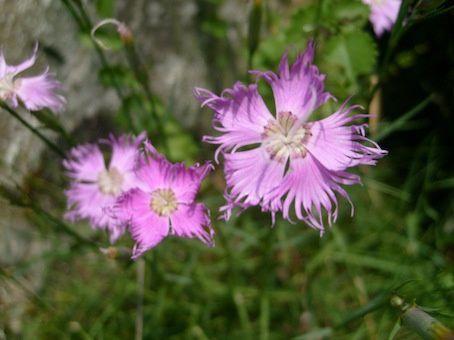 Safari photo de fleurs du Val d'Aran (floraison Juillet-Août)