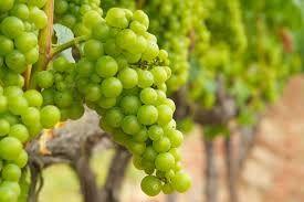 Champagne Producers  Rilly La Montagne Region – Marne Dept France