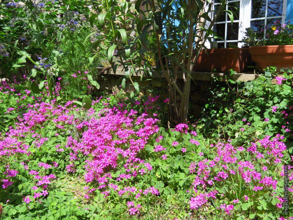 Mon jardin de Provence au mois de juin