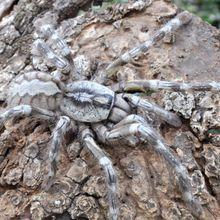 Une nouvelle espèce de tarentule découverte au Sri Lanka