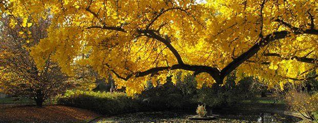 Ginkgo-Biloba, l'arbre le plus ancien.