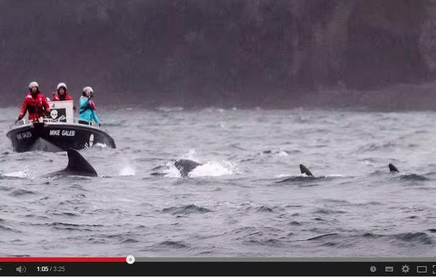 VIDEO - des activistes de Sea Shepherd viennent en aide à des baleines aux Iles Feroe