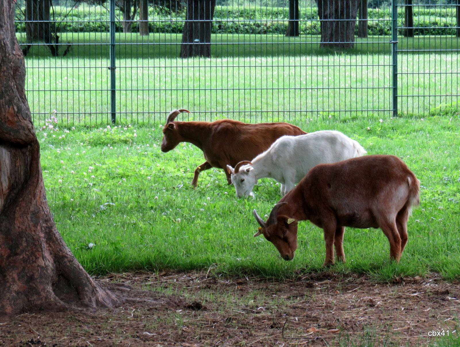 Les chèvres de la mini-ferme du parc Corbière, Le Pecq (Yvelines)