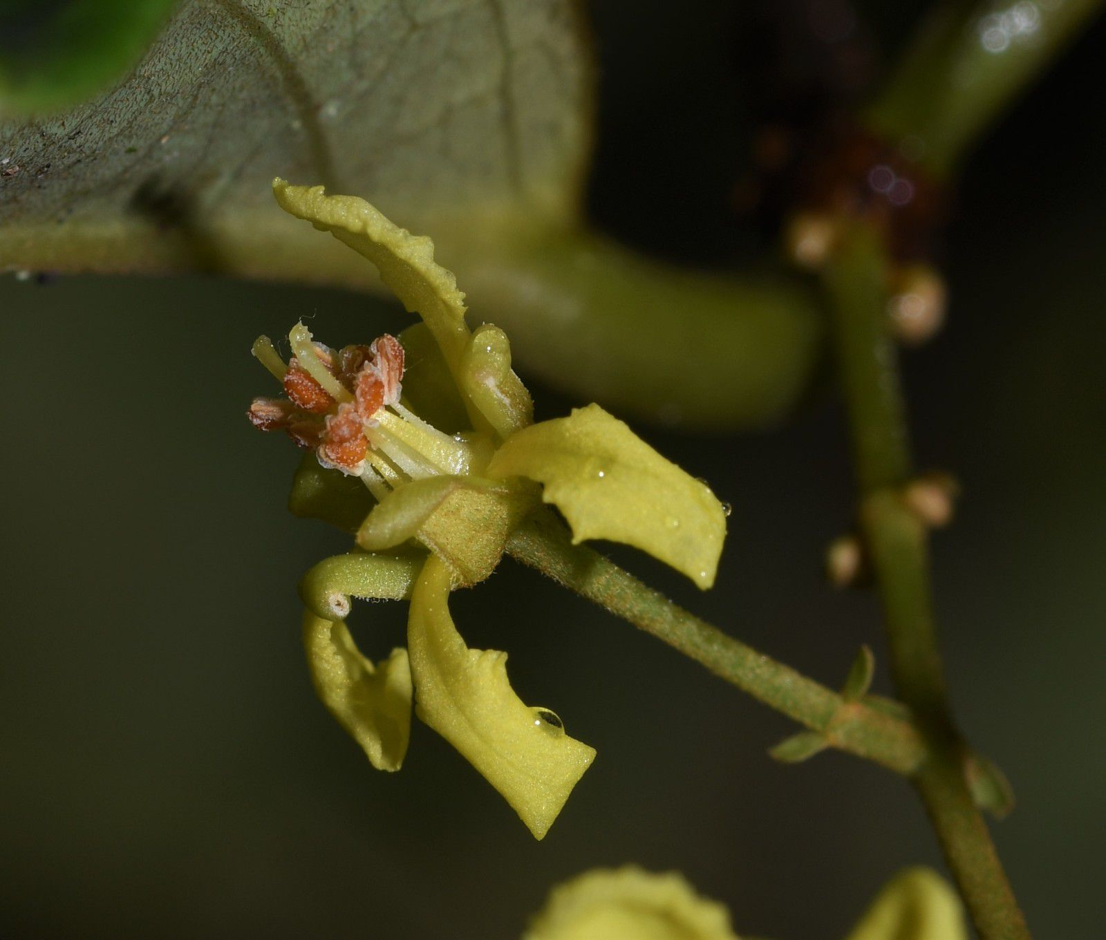 Heteropterys biglandulosa
