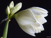 Amaryllis - Hippeastrum