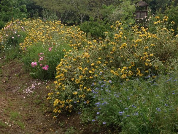 Enfin des Eremurus au Jardin de Frescati !
