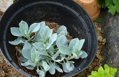 L'huitre végétal , apéro original !