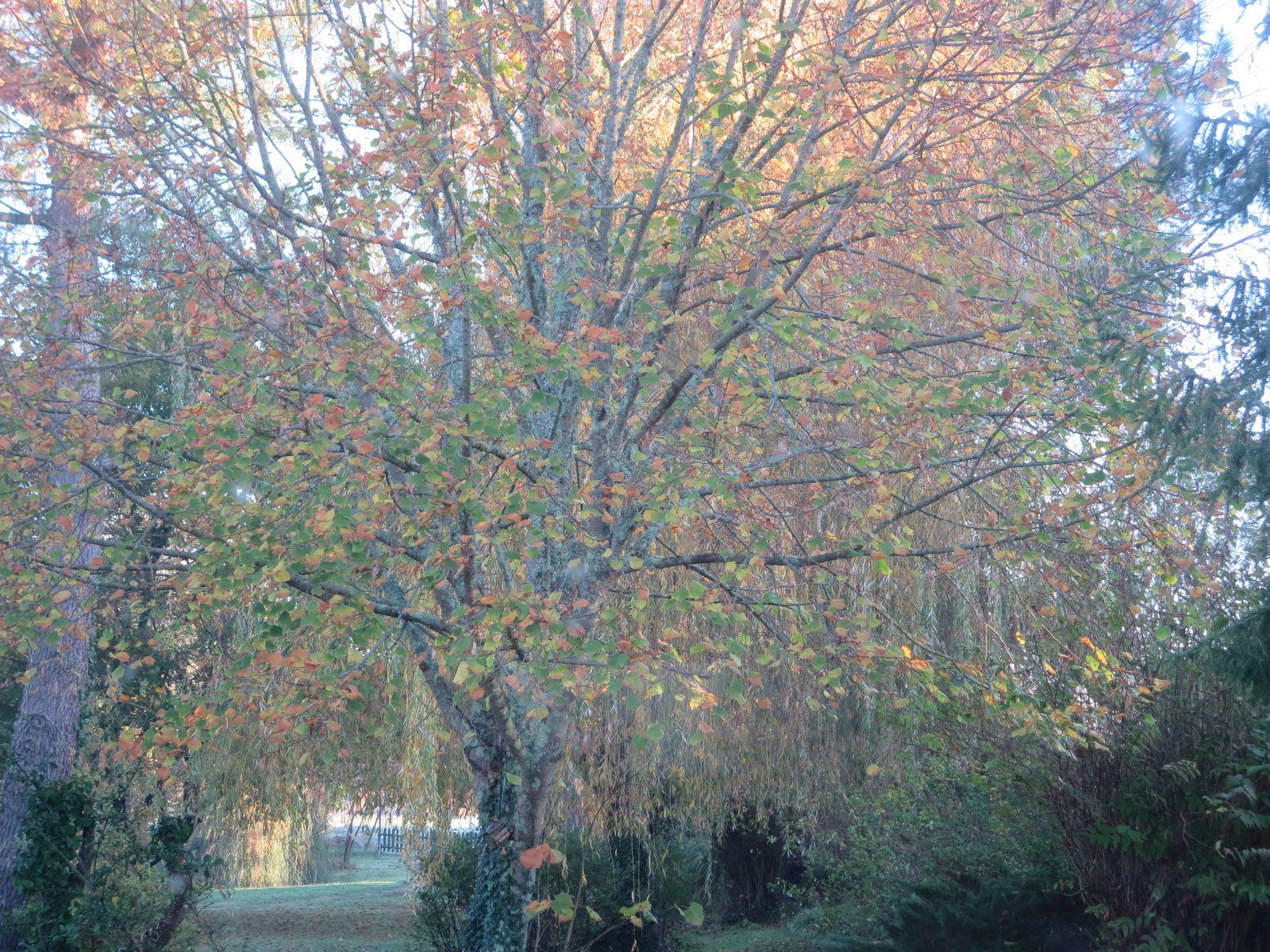 Les couleurs de l'automne n'ont pas duré longtemps ; les tardifs s'accrochent aux verts alors que les autres se colorent. La plus part, ont perdu toutes leurs feuilles, rapidement emportées par les pluies et le vent.